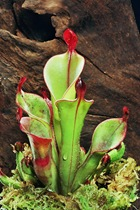 carnivorous-plant-2